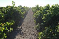 Domaine du Petit Chaumont Aigues Mortes présente des vignes vigoureuses (® NetWorld-Fabrice Chort)