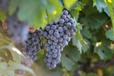 Raisin sain avant récolte du Domaine du Petit Chaumont d'Aigues Mortes (® NetWorld-Fabrice Chort)